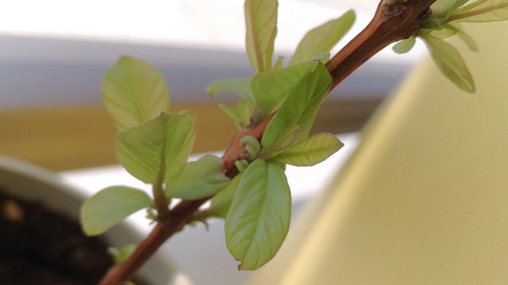 パッションフルーツの葉