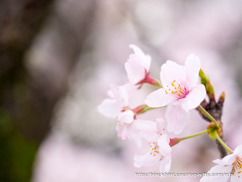 Cherry blossoms #011