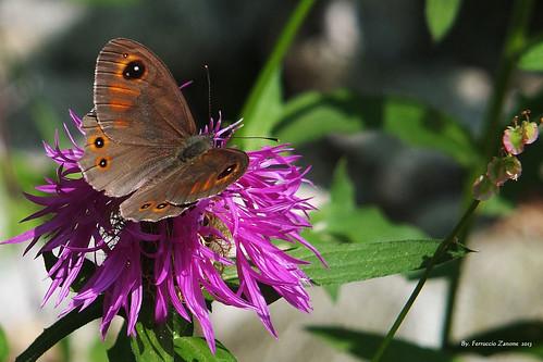 farfalla un attimo di vita la vita media di una