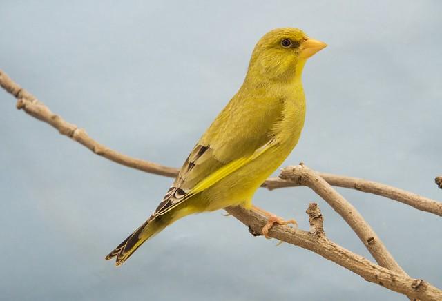 verderón ágata pico amarillo