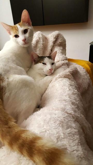 Gary, gatito blanco y naranja cruce Van Turco esterilizado muy activo nacido en Julio´16, en adopción. Valencia. ADOPTADO. 33046655024_6de8dde54a_z