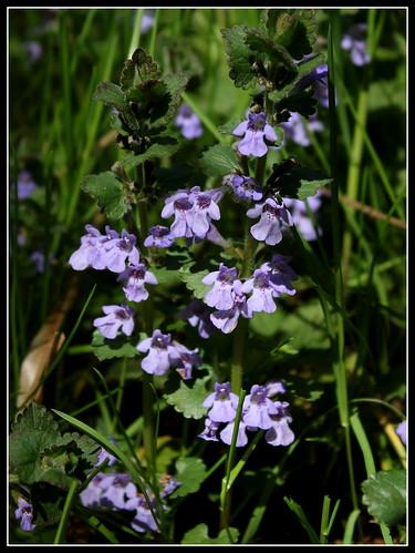 Glechoma hederacea - lierre terrestre - Page 2 33610601470_9faa00a561