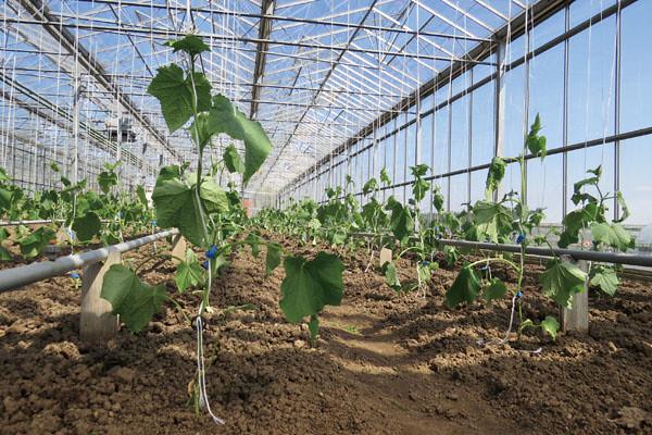 網室中成排的小胡瓜幼苗,整齊地以線支撐其生長。圖片來源:張正陽攝影,主婦聯盟提供。