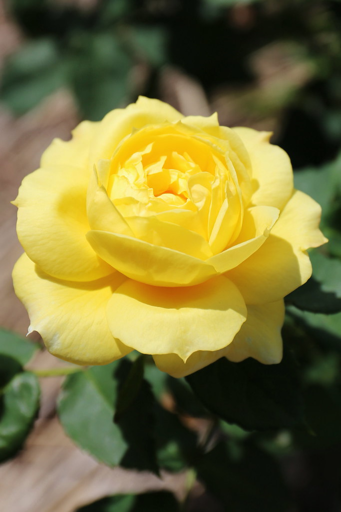 Yellow rose yoshihiro ogawa flickr for What color is the friendship rose
