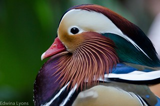 Mandarin Duck | by Ed O_o