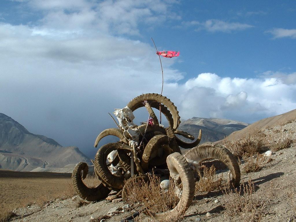 Afghanistan >> Marco Polo Ram Skulls, Pamir valley region - Afghanistan | Flickr