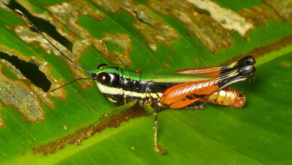 Grasshopper, Nadiacris sp.