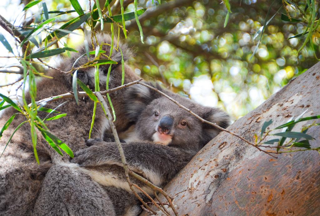 Sam the koala who survived Australian bushfires dies