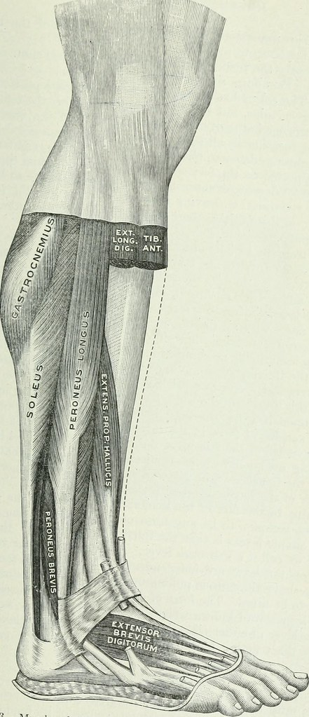 Image From Page 196 Of Applied Anatomy And Kinesiology T Flickr