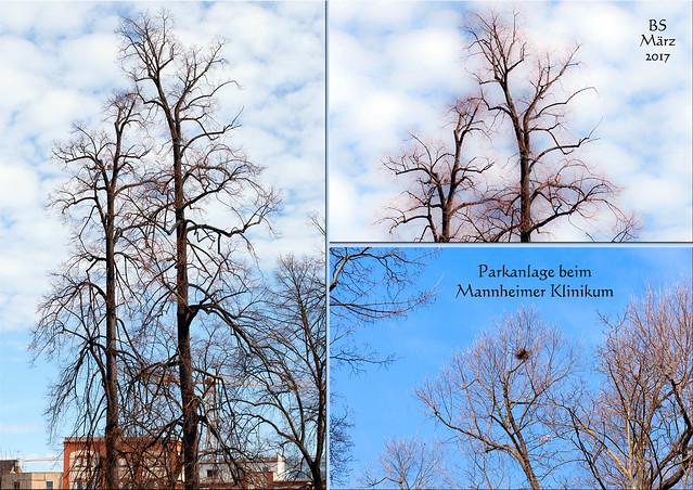 März 2017: Bäume in der Parkanlage des Mannheimer Klinikums ... Fotos: Brigitte Stolle