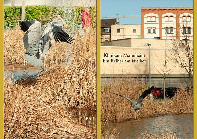 Bewegungsstudien_Reiher am Weiher_UMM_Klinikum Mannheim_März 2017_Foto: Brigitte Stolle
