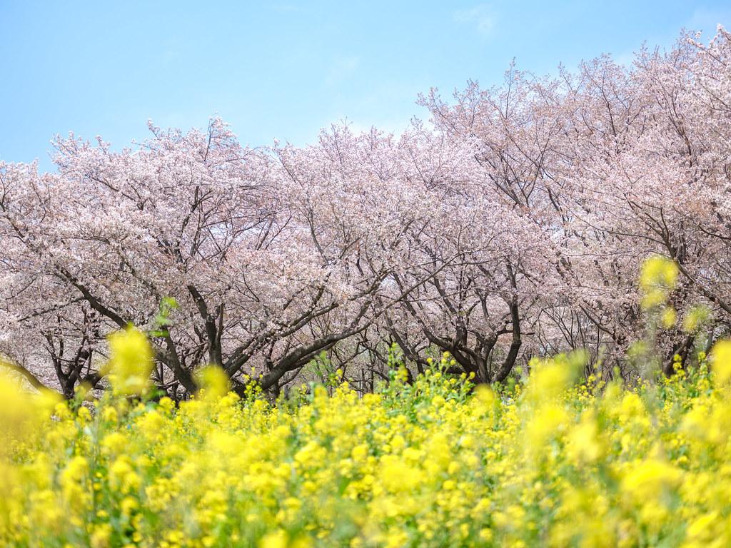 昭和記念公園の桜2017①