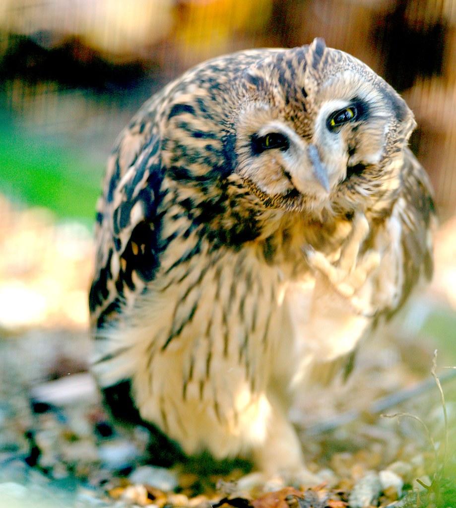 Short Eared Owl_2