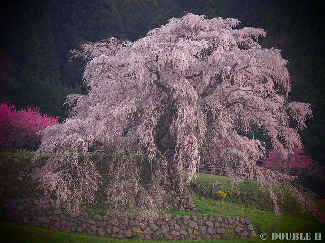 Matabei Zakura - huge weeping cheery tree (3)