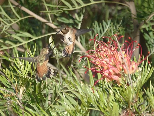Hummingbird discussion at the Grevillea