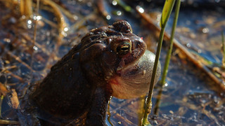 American Toad (Anaxyrus americanus) calling | by phl_with_a_camera1