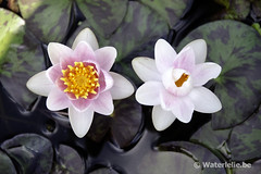 Nymphaea Shady Lady 2004