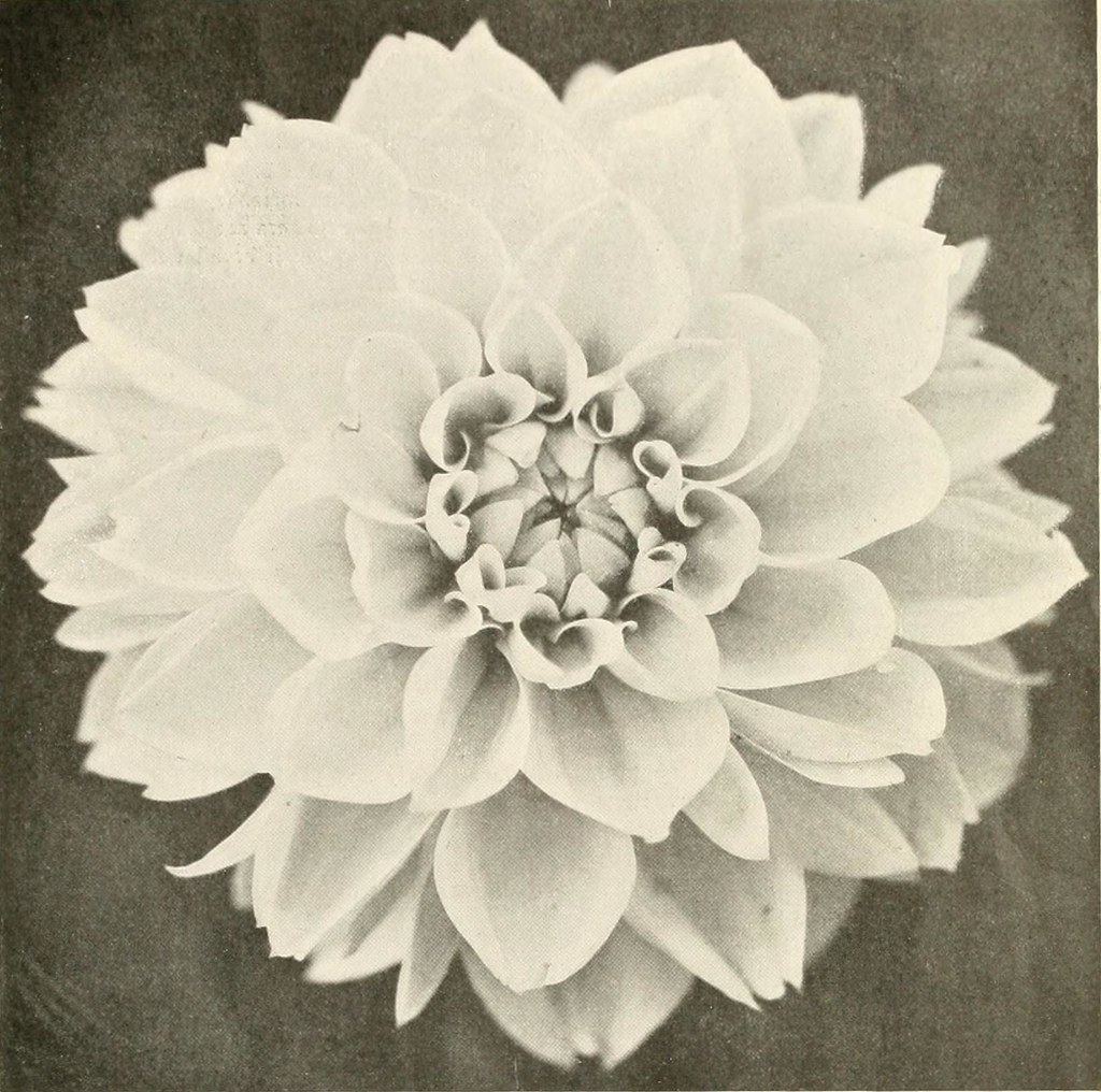 Image From Page 68 Of The Dahlia A Practical Treatise On Flickr