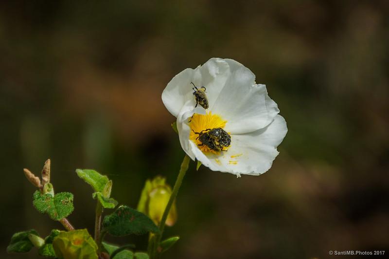 Cetonias en una flor de jara negra