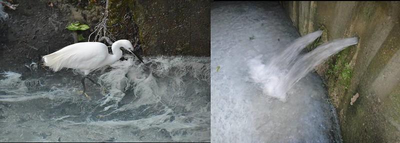 左圖是水泉花與小白鷺。右圖是雨季石頭公奔湧地泉水,渠底因大量湧水讓水泉花大發生,整個渠底活像是牛奶池。