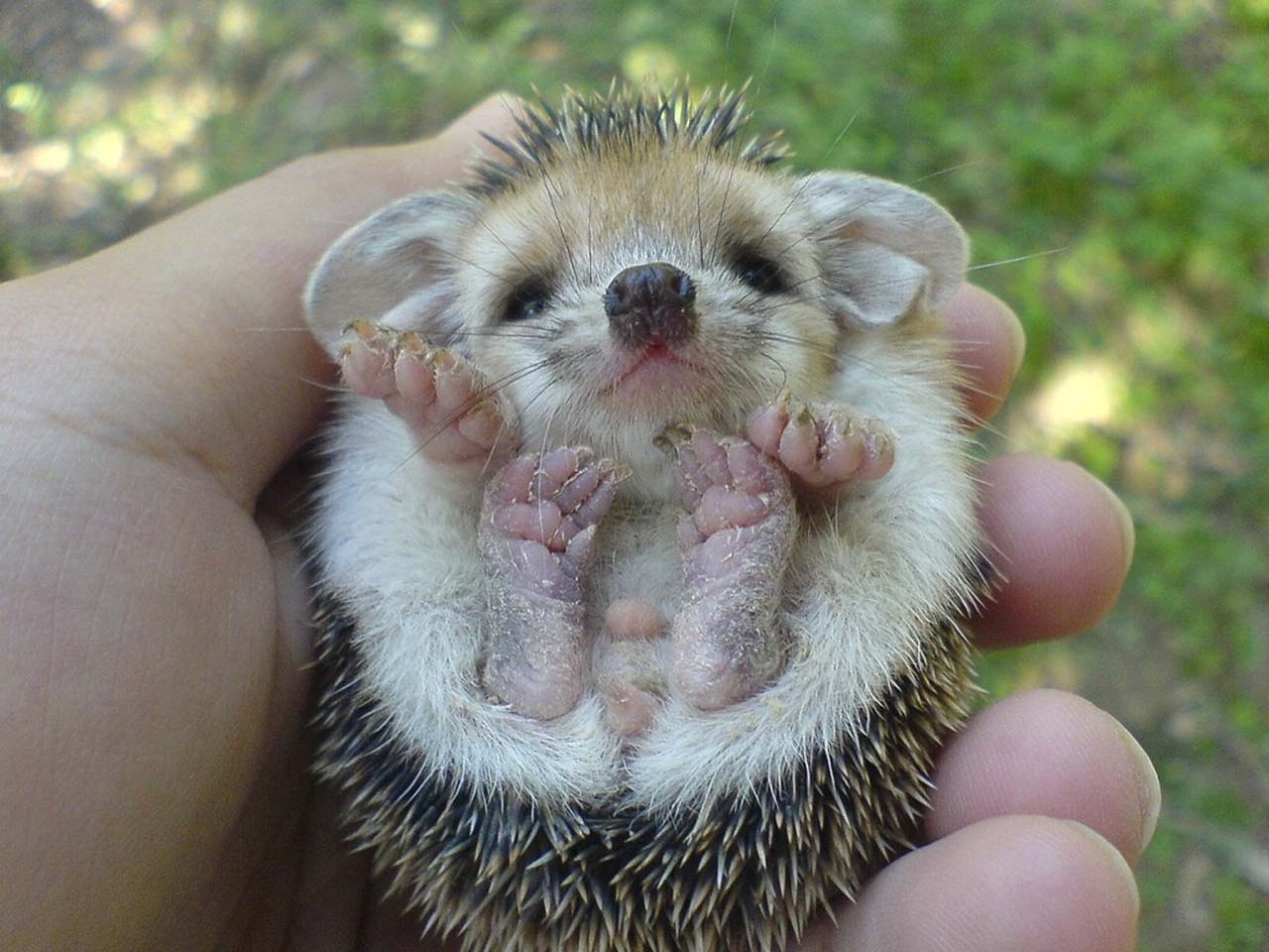 27 Adorable & Tiny Animals That Are Too Cute To Handle #19: Hedgehog