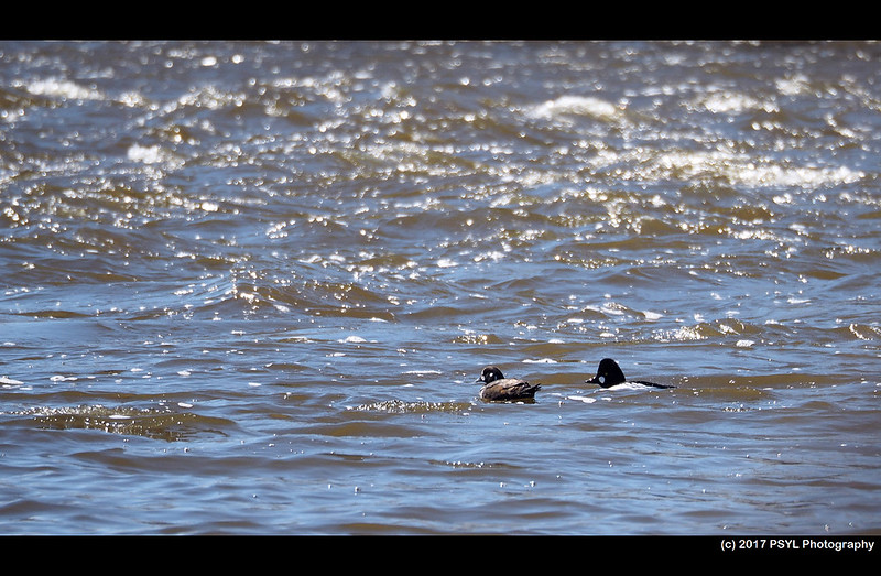 Harlequin Duck (Histrionicus histrionicus) with Common Goldeneye (Bucephala clangula)