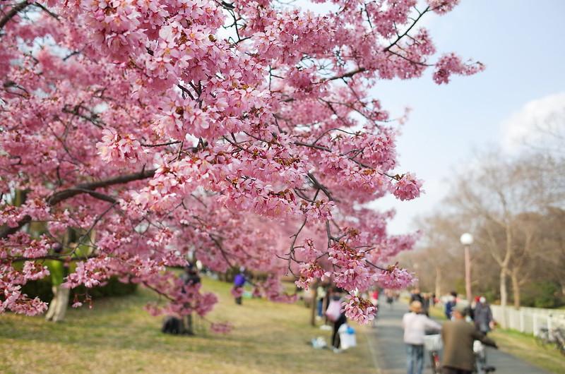 おかめ桜の咲く道