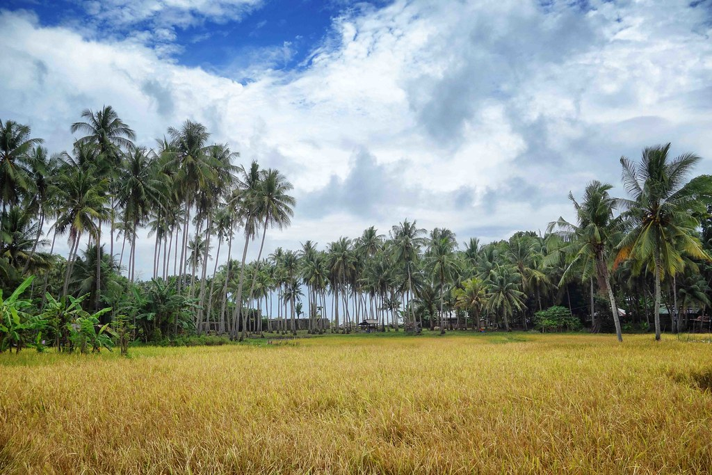 Siquijor - Rice Field