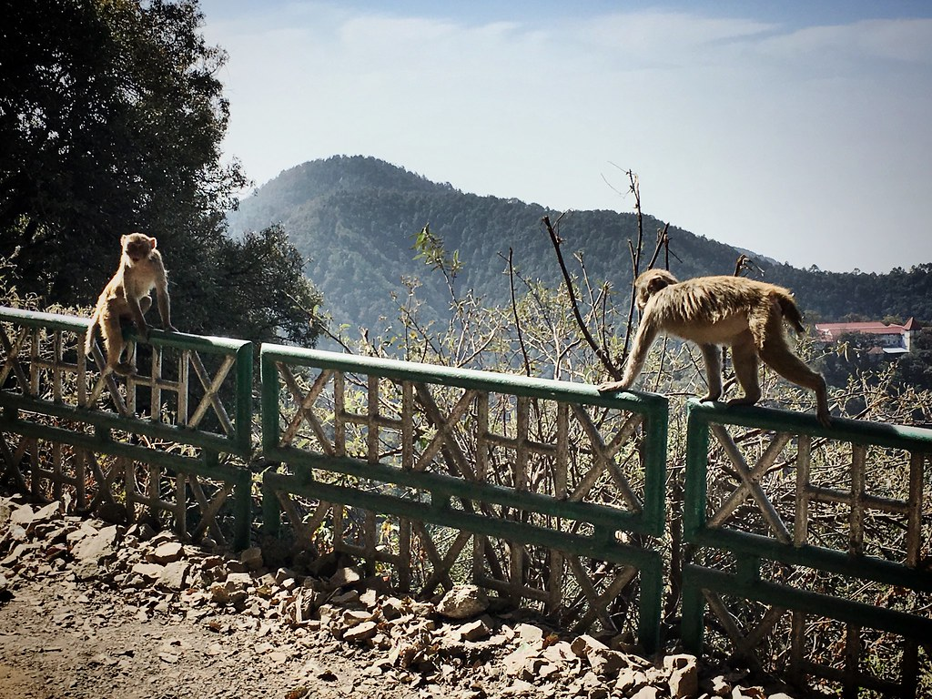 Monkeys in Mussoorie