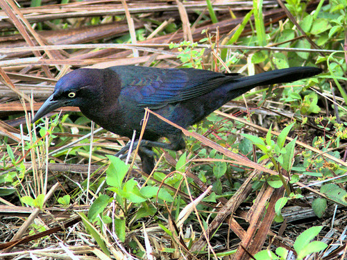 Common Grackle 4-20170402