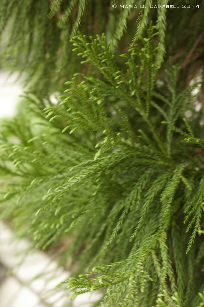 Weeping Alaskan Yellow Cedar 5 8 14 Detail Latin Name