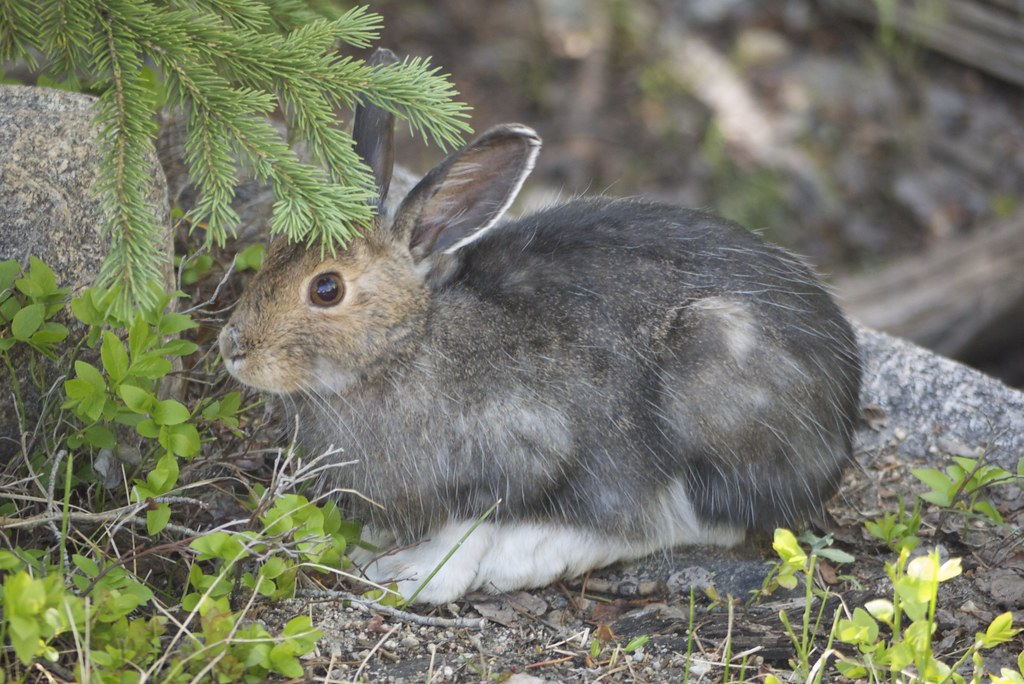 an analysis of the snowshoe hare in the rocky and appalachian mountains