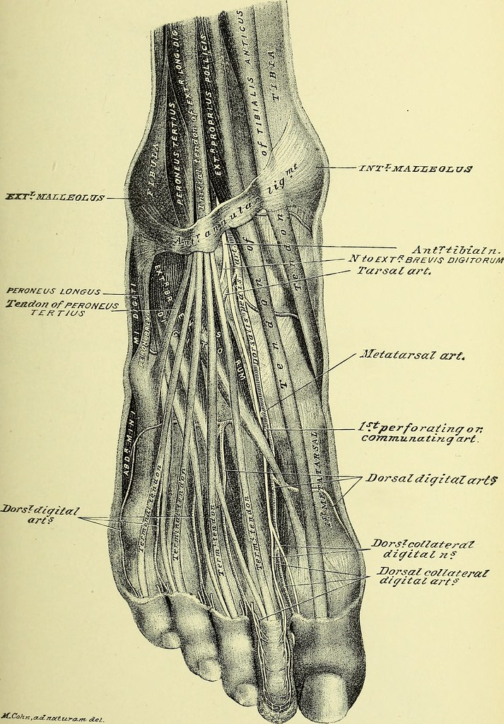 Image From Page 294 Of Practical Human Anatomy Electroni Flickr