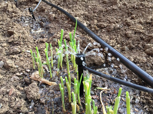 For ever-growing green onions