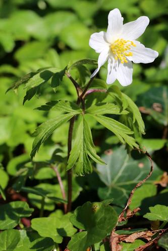 Wood Anemone Anemone nemorosa