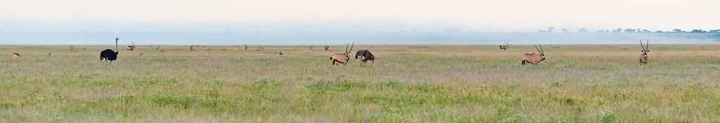 Springböcke, Oryx-Antilopen und Strauße im Morgendunst