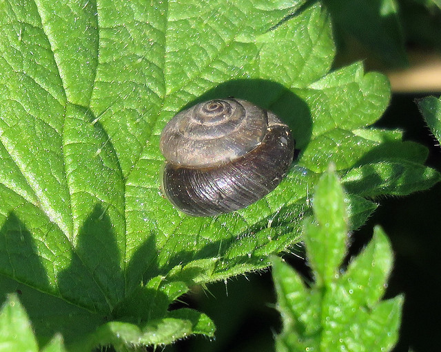 Strawberry Snail - Trochulus striolatus