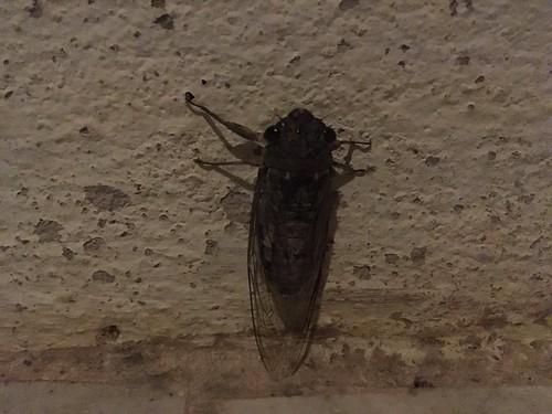 Cicada タイのセミ
