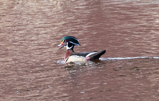 Wood Duck | by Laura Erickson
