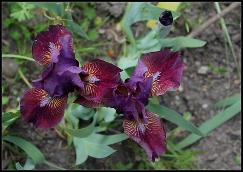 Iris 'Fillette' - Loïc Tasquier 2010 34118570175_395ea40fd7