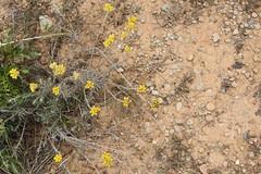 G2- Max Rebenaque- helichrysum stoechas- sempre viva borda (2)
