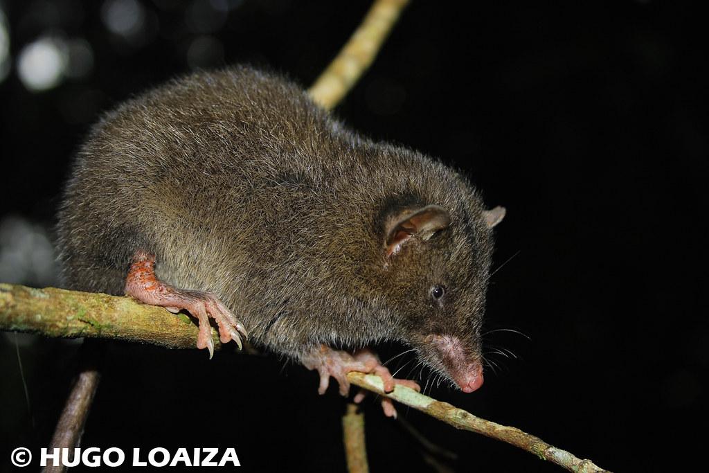 1000  images about MAMMALS Opossum Mole Shrew Bat on Pinterest ...