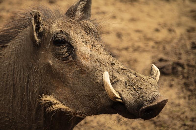 Warzenschwein Namibia Safari