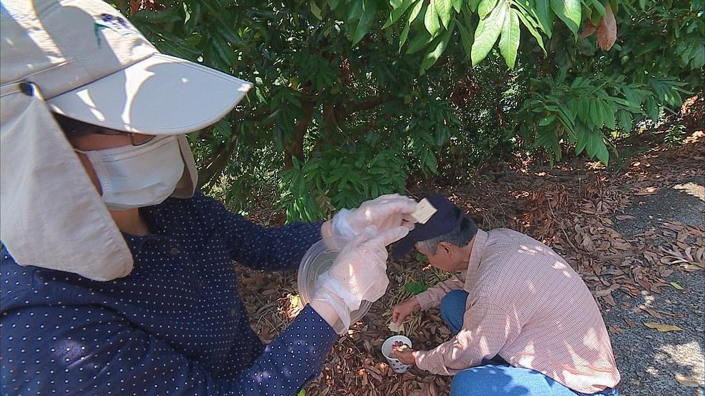 吳怡慧與研究夥伴來到台中霧峰的龍眼園,帶著平腹小蜂,要來幫助農民消滅荔枝椿象。