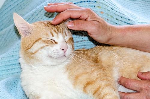 Robin, gato blanco y naranja guapo y súper dulce esterilizado, +inmunodeficiencia nacido en Marzo´15, en ADOPCIÓN ESPECIAL. Valencia. ADOPTADO. 33868305581_aa47f7fa8f