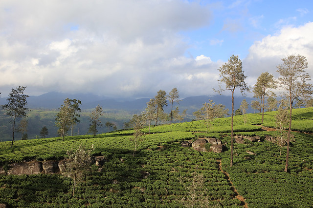 PW-Ceylon-Tea Country6