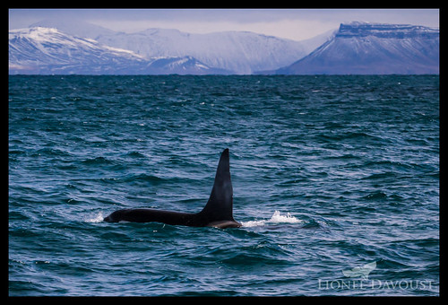 Orca in the fjord