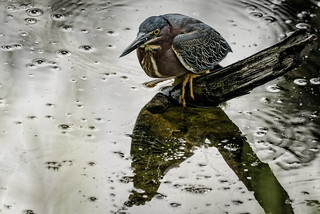 Green Heron in a silver pond | by Ed Rosack