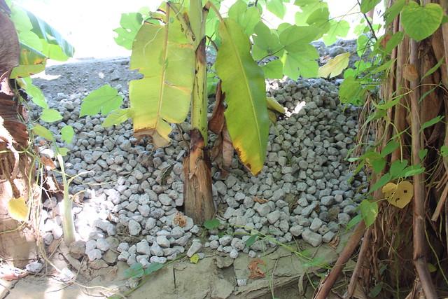 芭蕉樹下的爐碴。攝影:廖靜蕙