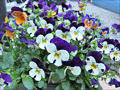 Violas, ready to plant